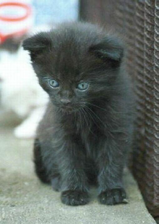 Čierne mača modrej britskej mačky